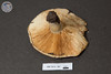 ABF-2013-367 Lactarius villosus