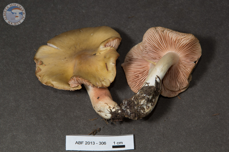 ABF-2013-306 Entoloma sp.