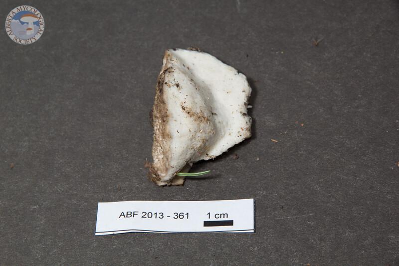 ABF-2013-361 Trametes suaveolens