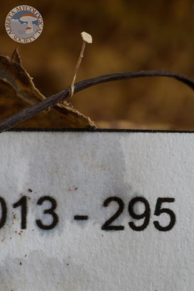 ABF-2013-295 Collybia cirrhata?