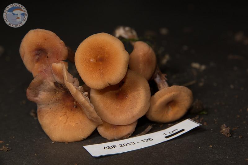 ABF-2013-126 Laccaria laccata