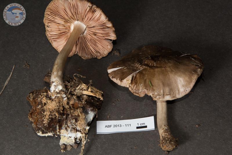 ABF-2013-111 Pluteus cervinus