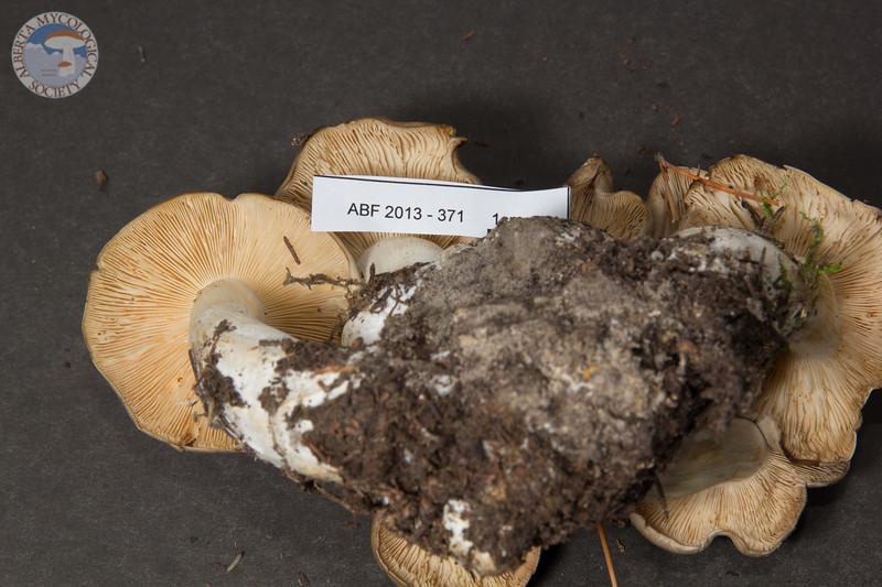 ABF-2013-371 Lyophyllum decastes