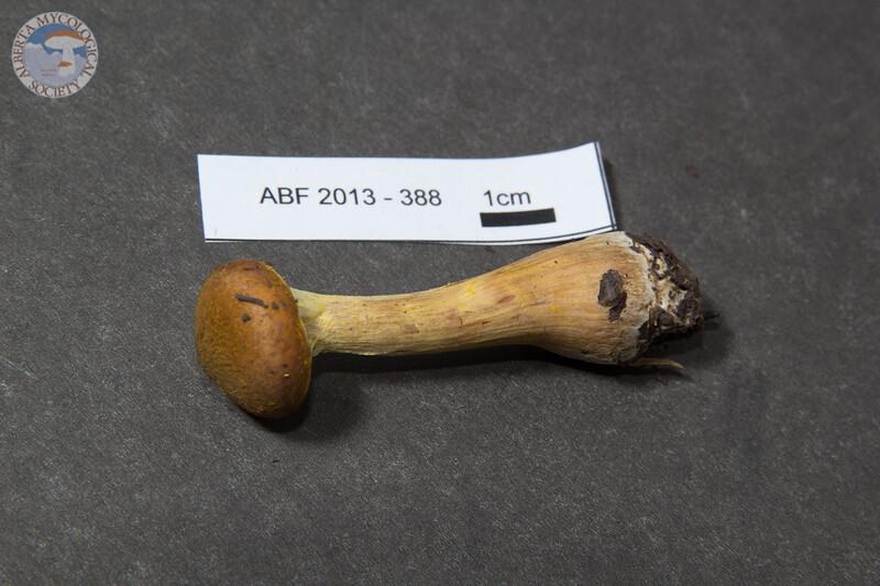 ABF-2013-388 Armillaria gallica