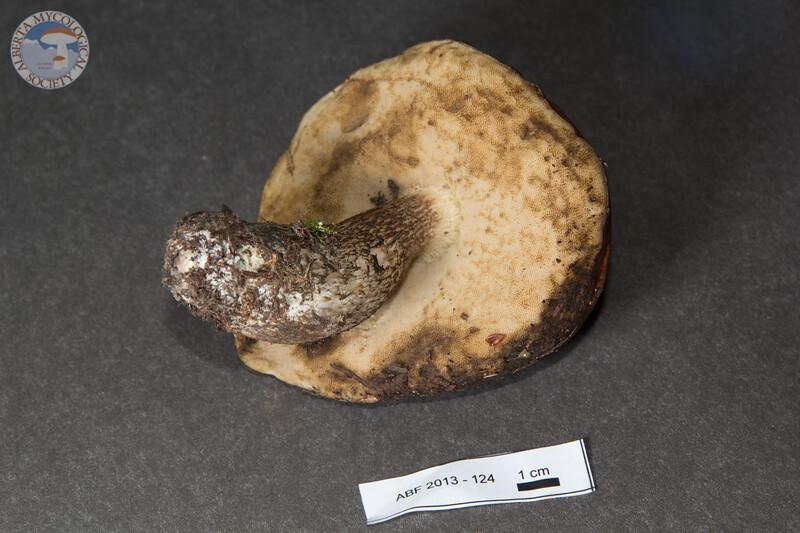 ABF-2013-124 Leccinum fibrillosum