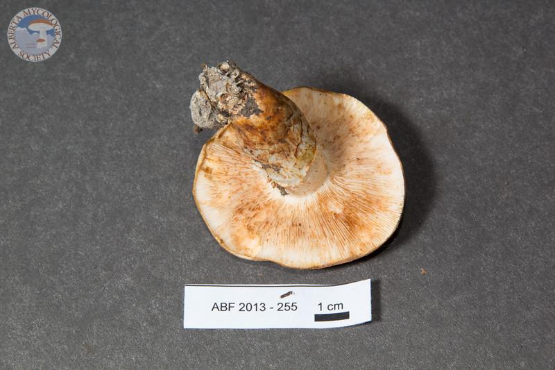ABF-2013-255 Tricholoma zelleri