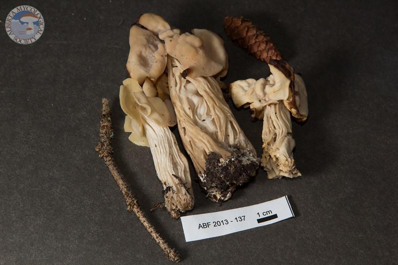 ABF-2013-137 Helvella crispa