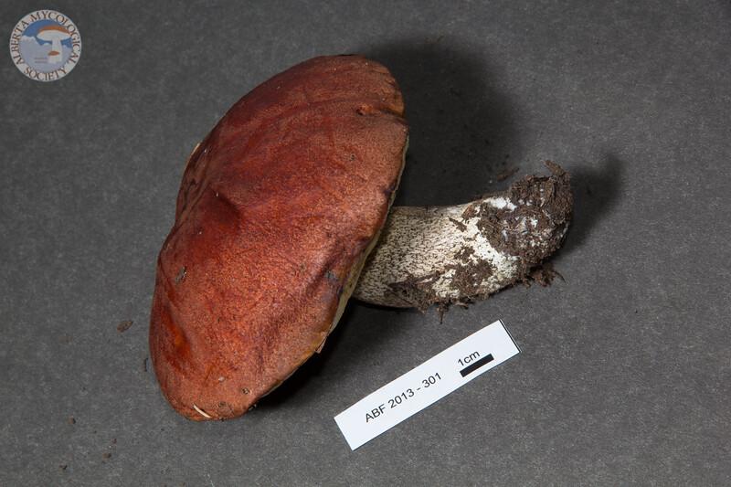 ABF-2013-301 Leccinum fibrillosum