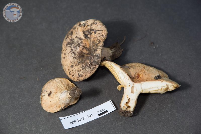 ABF-2013-210 Lactarius villosus