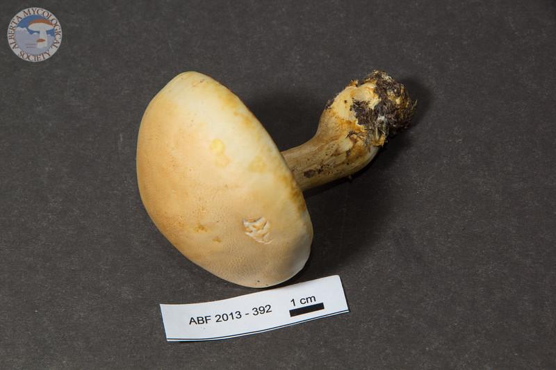 ABF-2013-392 Tricholoma sp.