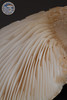 ABF-2013-308 Pleurotus levis
