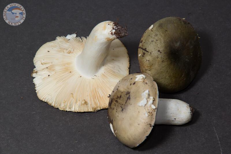 ABF-2013-289 Russula aeruginea