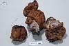 ABF-2014-093 Gyromitra ambigua