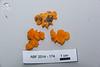 ABF-2014-174 Dacrymyces chrysospermus