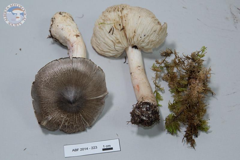 ABF-2014-223 Tricholoma virgatum