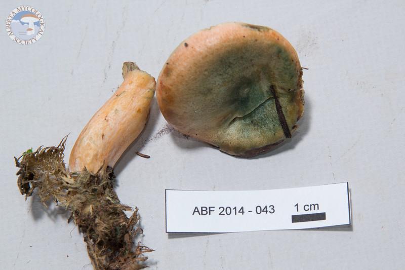 ABF-2014-043 Lactarius deliciosus
