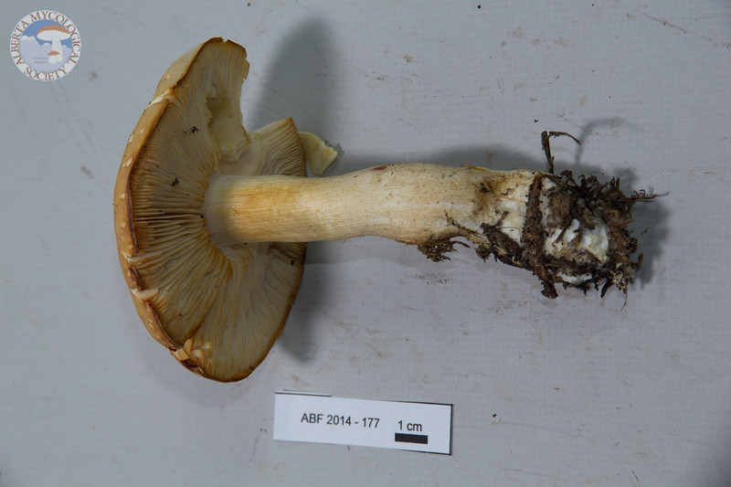 ABF-2014-177 Tricholoma sulphurescens