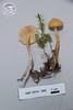 ABF-2014-060 Cystodermaamianthinum