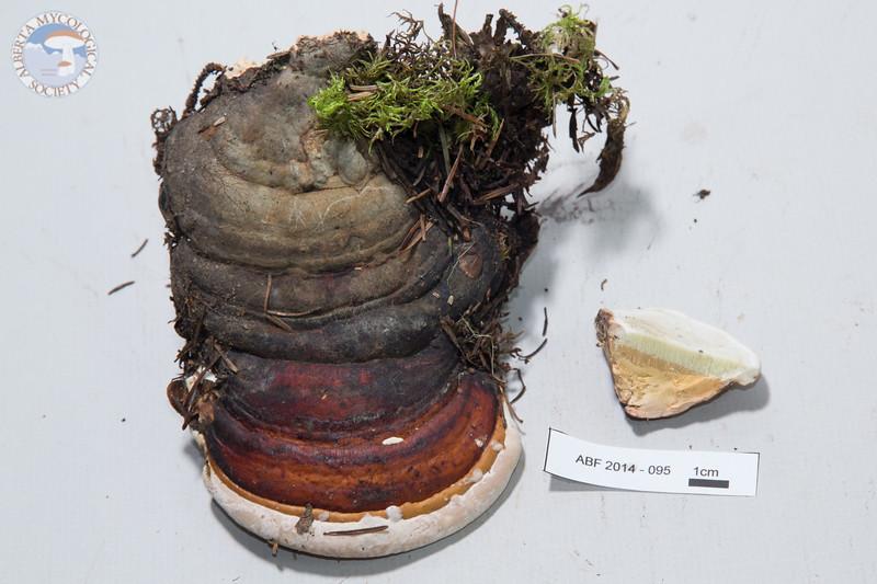 ABF-2014-095 Fomitopsis pinicola
