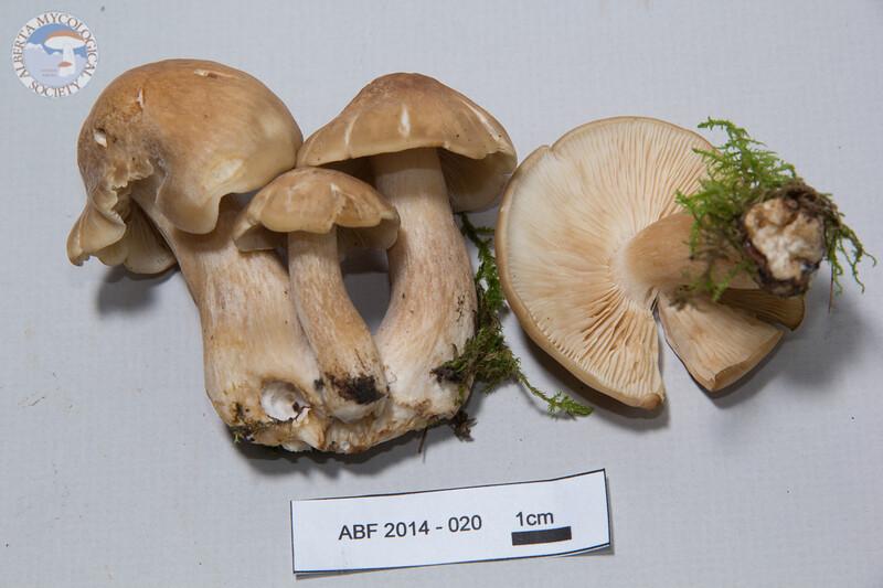 ABF-2014-020 Lyophyllum decastes
