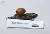 ABF-2014-031 Hygrophorus mollis