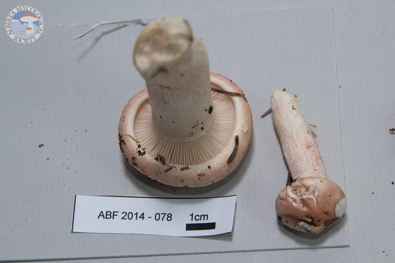 ABF-2014-078 Hygrophorus erubescens