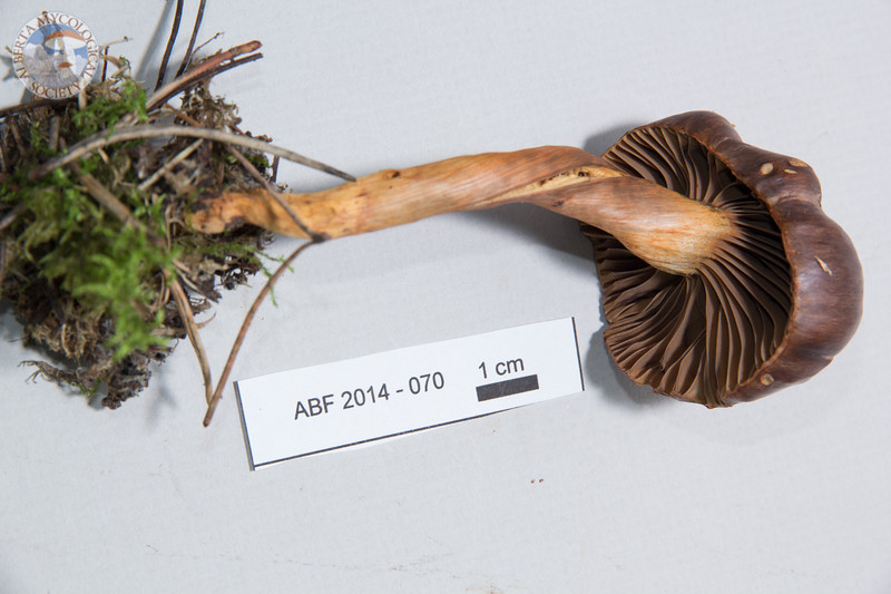 ABF-2014-070 Chroogomphus vinicolor