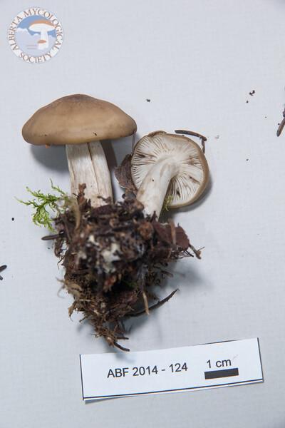 ABF-2014-124 Lyophyllum semitale
