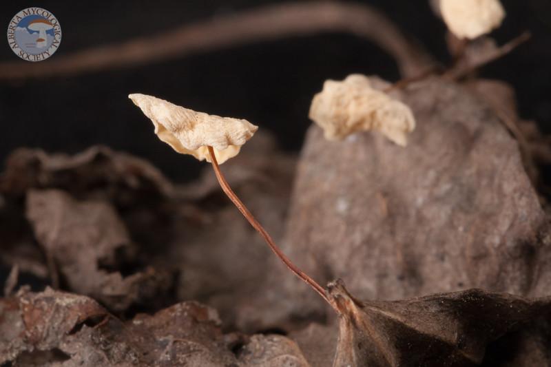 ABF-2014-014 Marasmius epiphyllus