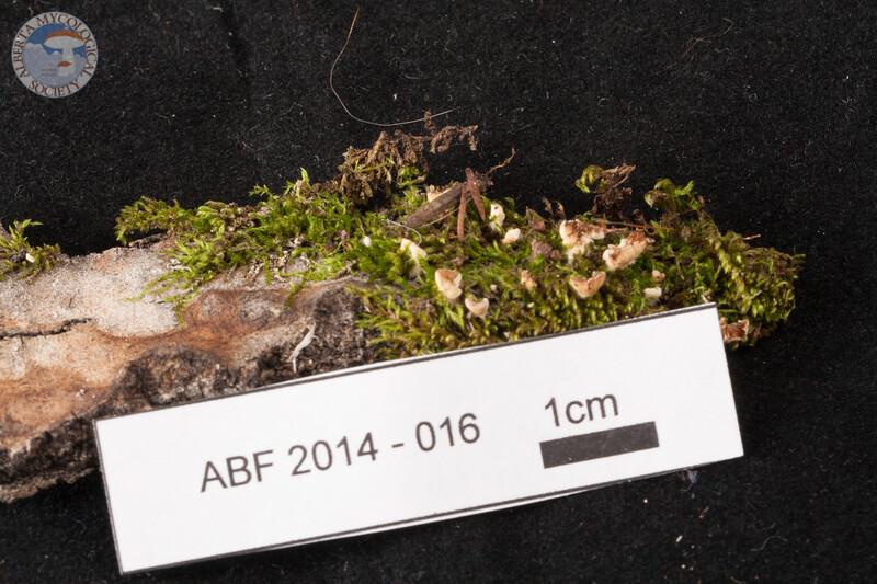 ABF-2014-016 Crepidotus ellipsoideus