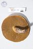 ABF-2014-001 Suillus tomentosus