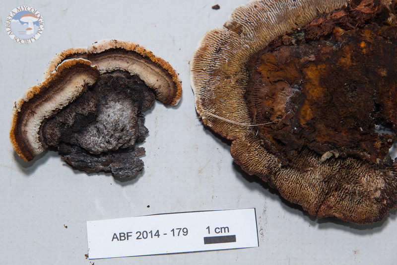 ABF-2014-179 Gloeophyllum sepiarium