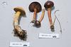 ABF-2014-111 ABF-2014-112 Chroogomphus vinicolor, Suillus tomentosus