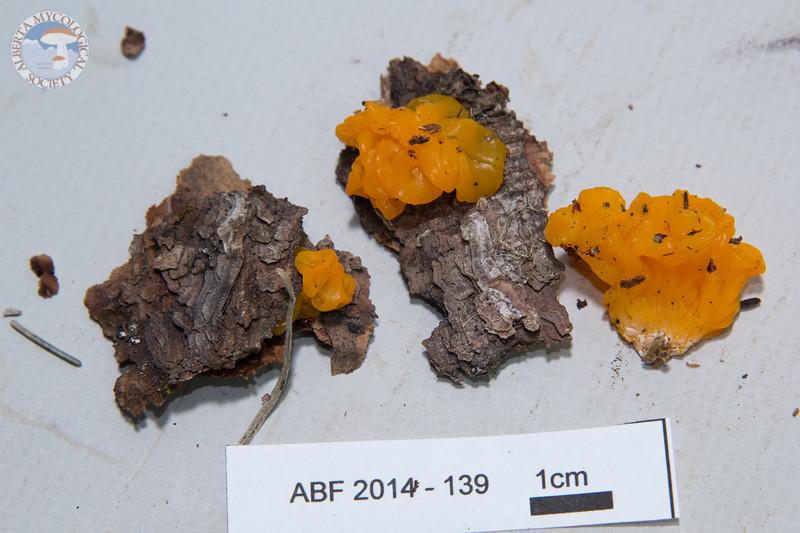 ABF-2014-139 Dacrymyces chrysospermus