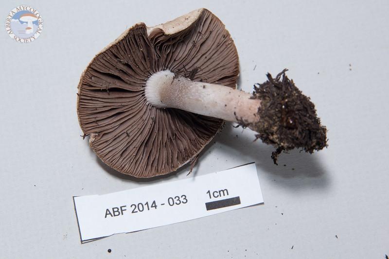 ABF-2014-033 Psathyrella uliginicola