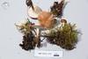 ABF-2014-010 Collybia dryophila