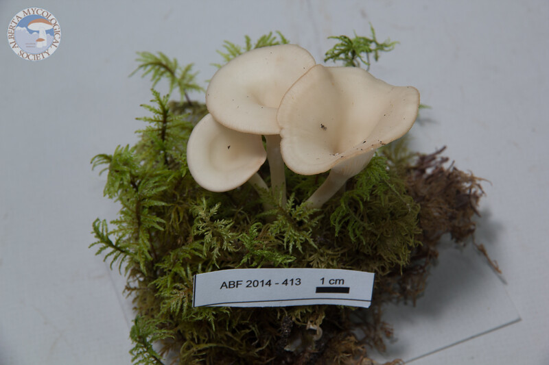 ABF-2014-413 Clitocybe gibba