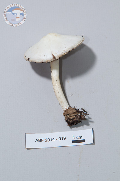 ABF-2014-019 Pluteus pellitus