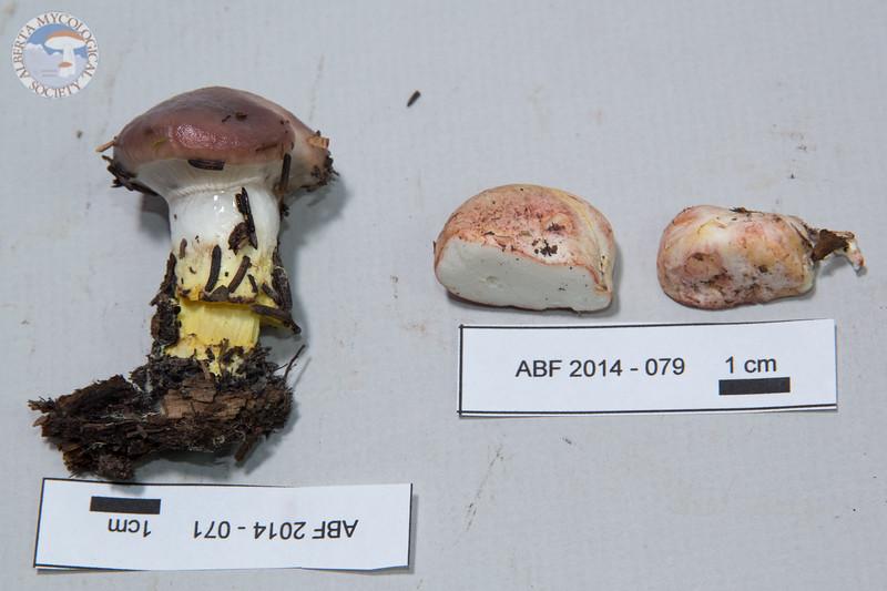 ABF-2014-071 Gomphidius glutinosus var. glutinosus ABF-2014-079 Rhizopogon roseolus
