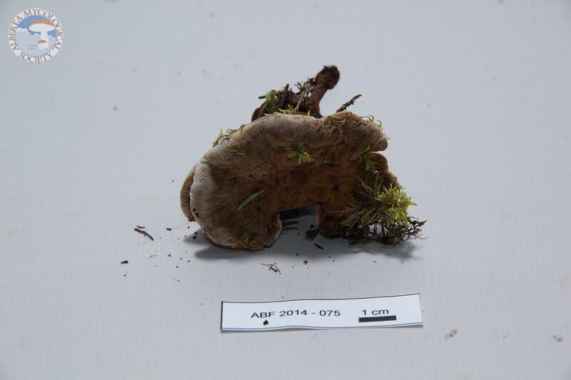 ABF-2014-075 Onnia tomentosa