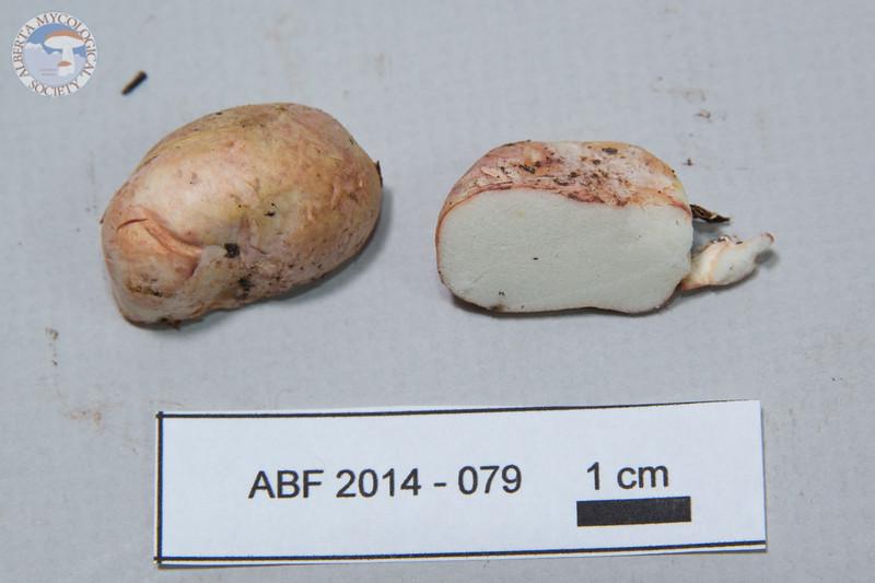 ABF-2014-079 Rhizopogon roseolus