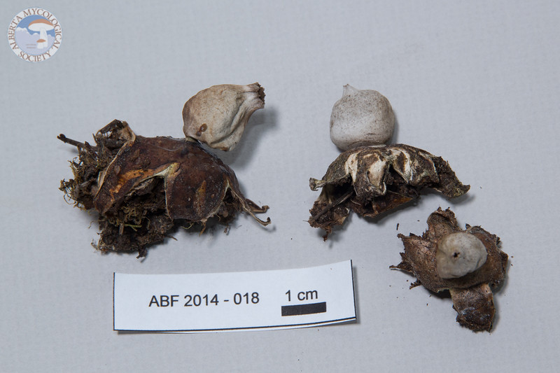 ABF-2014-018 Geastrum fimbriatum