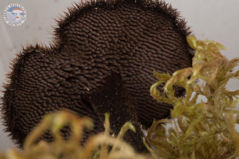 ABF-2014-015 Auriscalpium vulgare