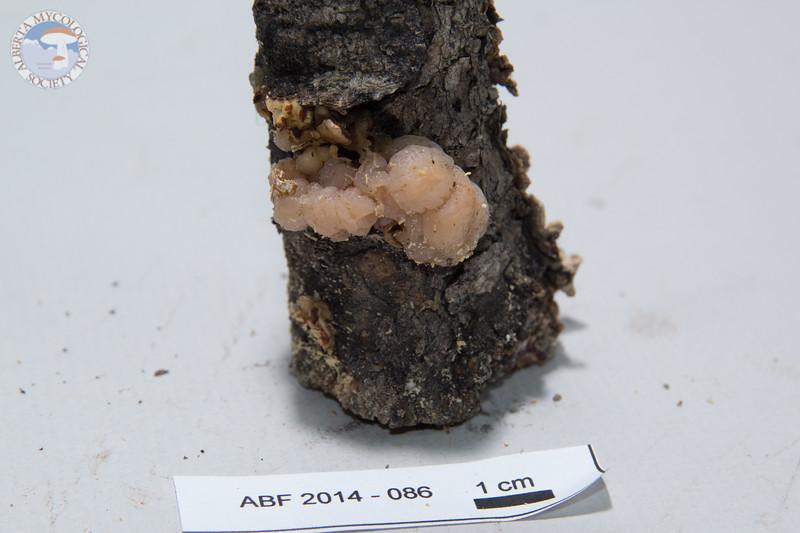 ABF-2014-086 Tremella encephala