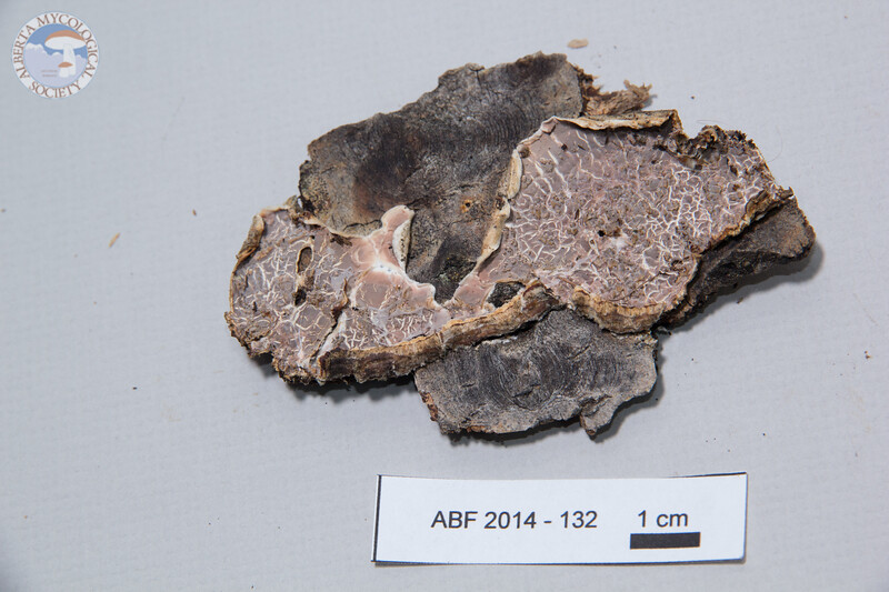ABF-2014-132 Eichleriella deglubens