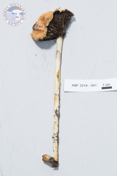 ABF-2014-041 Leratiomyces riparius