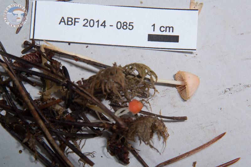 ABF-2014-085 Mycena monticola