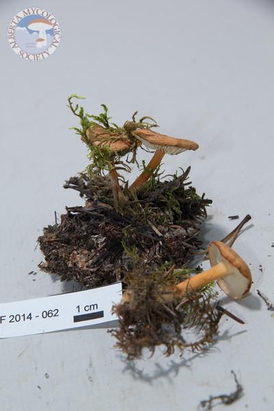 ABF-2014-062 Gymnopus dryophilus