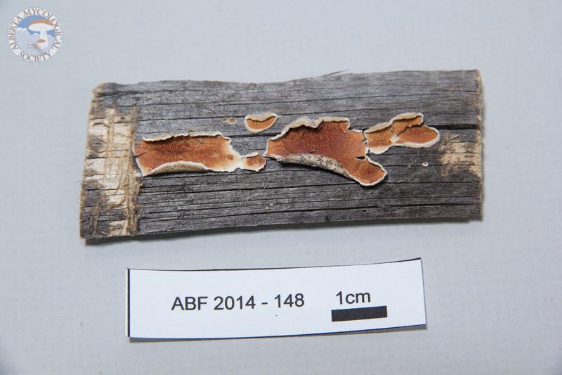 ABF-2014-148 Gloeoporus ambiguus