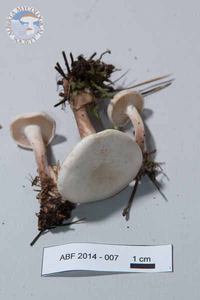 ABF-2014-007 Clitocybe fragrans gr